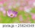 ピンク色と赤色のコスモスの花 25624349