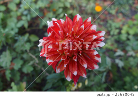 Dahlia scarlet flower with white tips 25630045