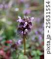 花 ヒメオドリコソウ シソ科の写真 25631554
