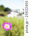 コスモス 秋桜 花の写真 25632405