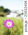 コスモス 秋桜 花の写真 25632406