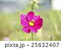 コスモス 秋桜 蜂の写真 25632407