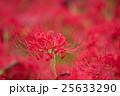 曼珠沙華 彼岸花 花の写真 25633290