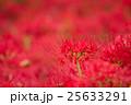 曼珠沙華 彼岸花 花の写真 25633291
