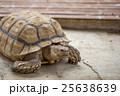 ケヅメリクガメ 25638639