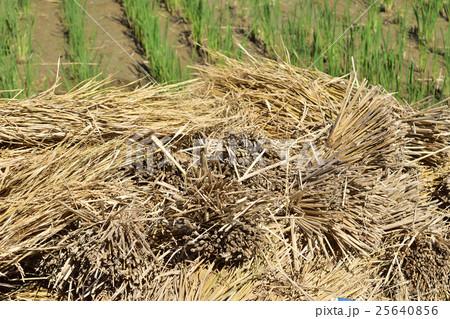 脱穀後の稲わらの山 25640856
