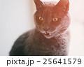 ねこ ネコ 猫の写真 25641579