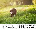 black and white cat on summer meadow grass 25641713