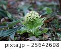 フキノトウ 蕗 花の写真 25642698