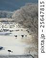 樹氷に囲まれたタンチョウのねぐら 25647815