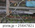 桜の木にとまるカワセミ 25647821