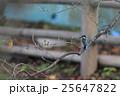 桜の木にとまるカワセミ 25647822