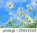 コスモス 秋桜 蕾の写真 25655329