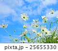 コスモス 秋桜 蕾の写真 25655330
