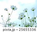 コスモス 秋桜 蕾の写真 25655336