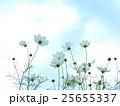 コスモス 秋桜 蕾の写真 25655337