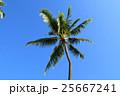ヤシ ヤシの木 青空の写真 25667241