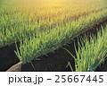 ネギ畑 25667445