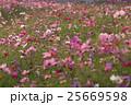 夕暮れの秋桜畑 25669598