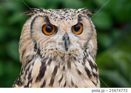 フクロウの顔 25674772