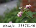 ランタナ しちへんげ 七変化の写真 25676140