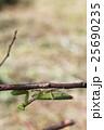 カマキリ 腹広蟷螂 雌の写真 25690235