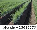 ネギ畑 25696575