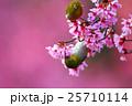 小鳥 オカメザクラ 桜の写真 25710114