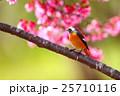 ジョウビタキ雄とオカメザクラ 25710116
