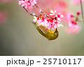 小鳥 オカメザクラ 桜の写真 25710117