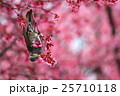 ヒヨドリとオカメザクラ 25710118