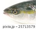 ブリ(鰤)の幼魚 頭部 イナダ 出世魚の若魚の名称 25713579