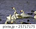 白鳥 25717175