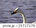 白鳥 25717176