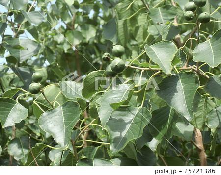 これから黒く熟し白い種を生むナンキンハゼの未熟な実 25721386