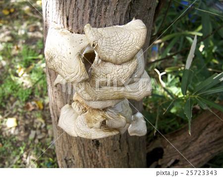 コウゾの樹に生えているキノコ(キガミダケかも) 25723343
