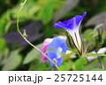 朝顔 花 植物の写真 25725144