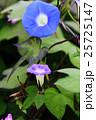 朝顔 花 植物の写真 25725147