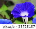 朝顔 花 植物の写真 25725157