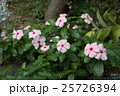 ニチニチソウの庭 25726394