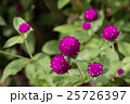 紫色のセンニチコウ 25726397