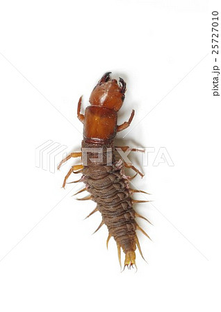 ヘビトンボの幼虫 孫太郎虫(まごたろうむし) 神経症の生薬として使われた 25727010