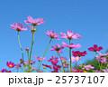 秋桜 25737107