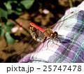 赤とんぼ 昆虫 蜻蛉の写真 25747478