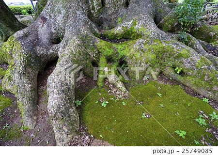 墓石をその根の中に巻き込むクスノキの巨木「寂心さんの樟」熊本県指定天然記念物樹齢800年神木クスの木 25749085
