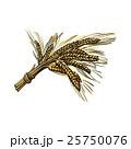 Bunch of malt, barley ears, sketch style vector 25750076
