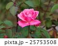 ピンクのバラ一輪 25753508