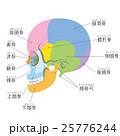 篩骨 頭蓋骨 骨のイラスト 25776244