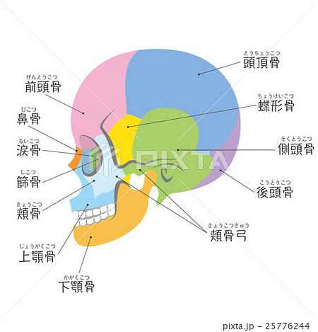頭蓋骨の側面(名称付き) 25776244