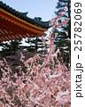 平安神宮、満開の桜のような結び木の桜みくじ 25782069